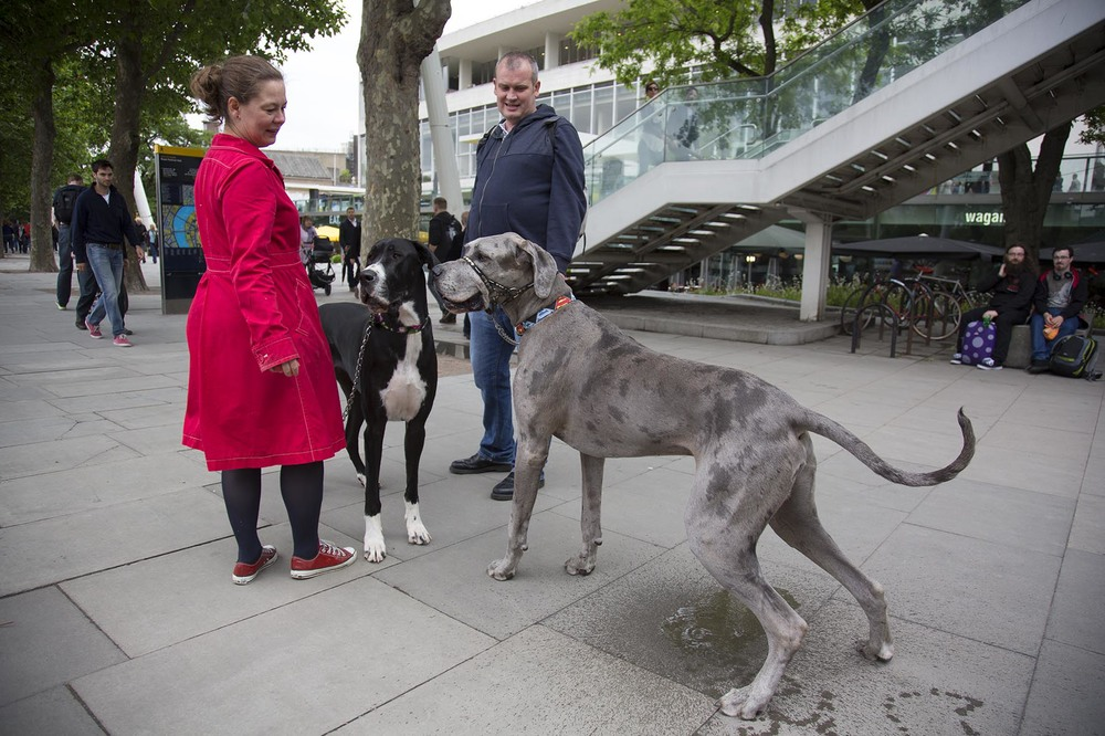 Sid takes a colossal pee as a couple walk their two Great Danes.