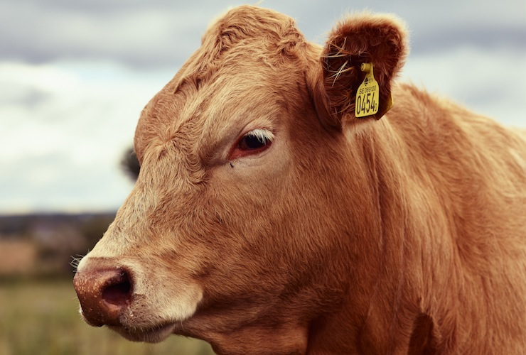 Cows_CF003869