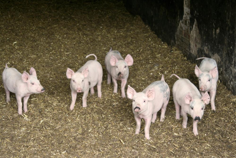Suckling pigs.