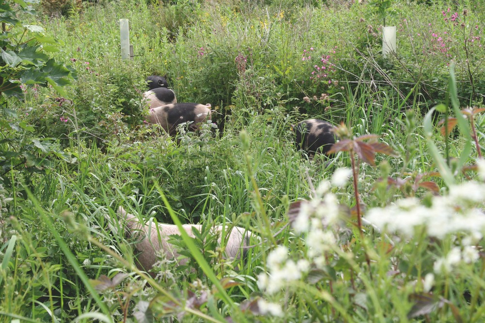 Pigs in a more overgrown portion of their enclosure.