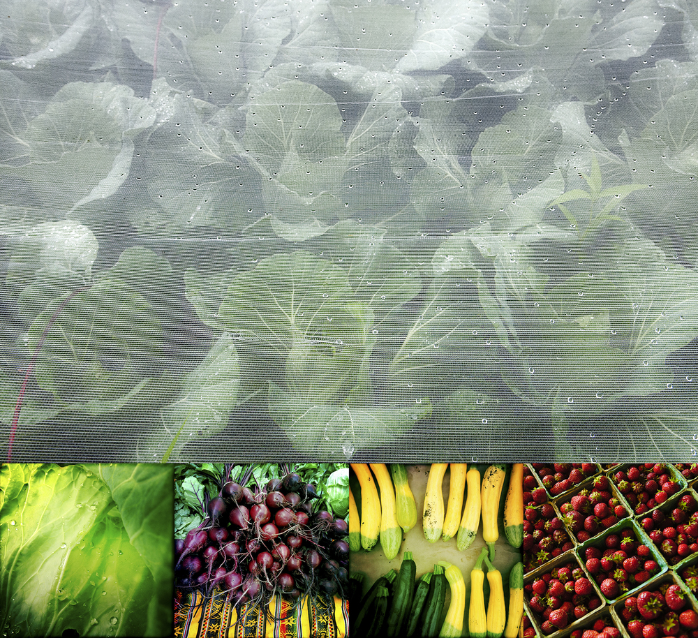 Top: Cabbage under a bug barrier. Bottom: (L-R) Shundahai Farm lettuce, beets, zucchini, strawberries.