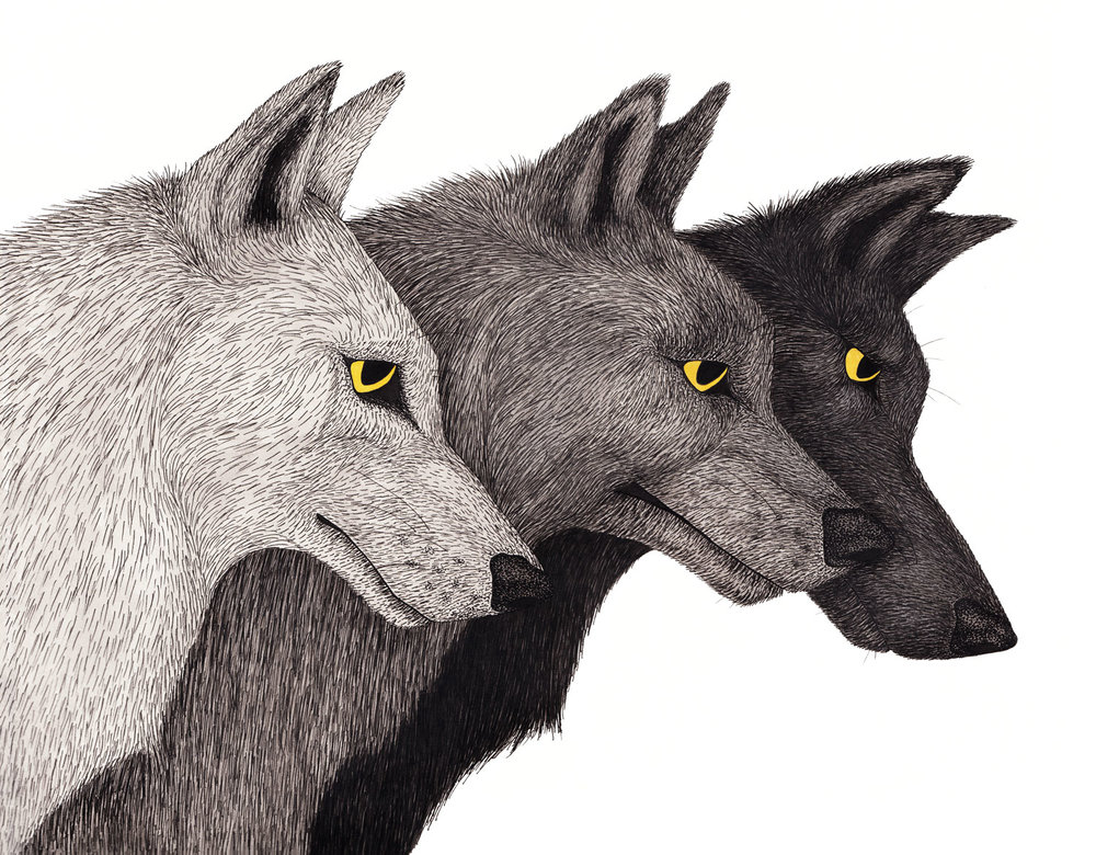 wolf-pack-grey-wolves-yellow-eyes-illustration-matthew-woods.jpg