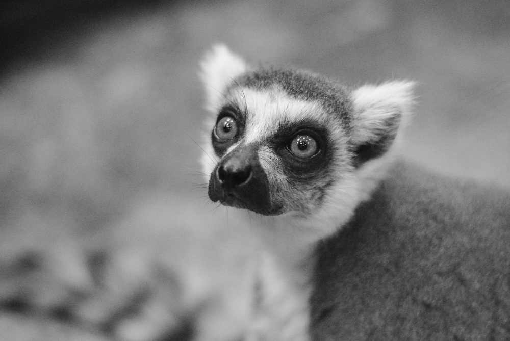 lemurdepthoffield (1 of 1).jpg