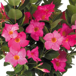 bush Dipladenias.jpg