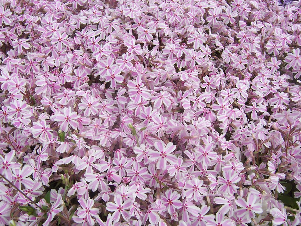 ground phlox2.JPG