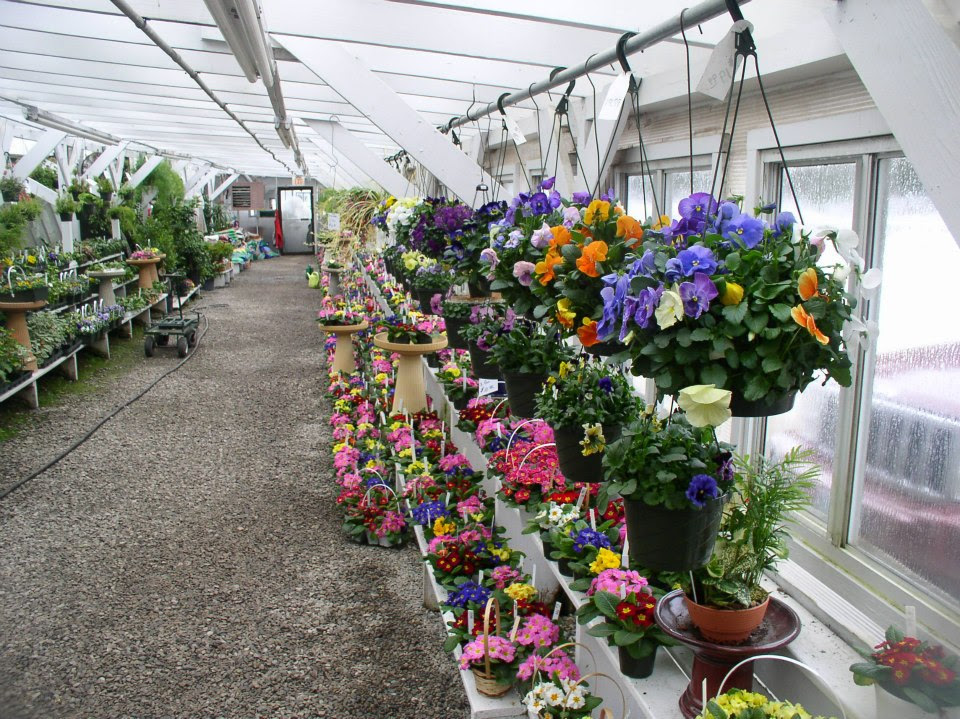 "Our pansies will be in full bloom in all sizes and colors, from 4"" pots to six packs to hanging baskets."