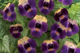 Torenia Flowers close up