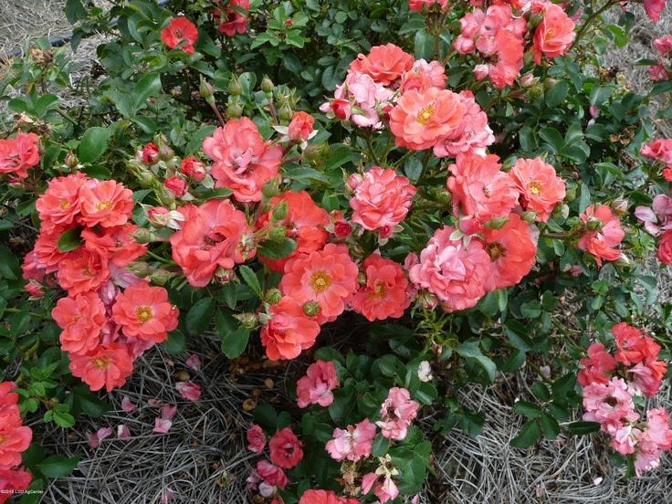 Best Rose Bushes