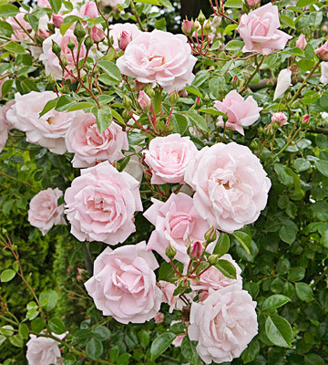roses pink climbing.jpg