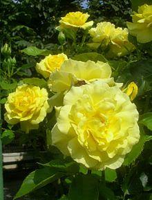 Roses Sunsprite.jpg