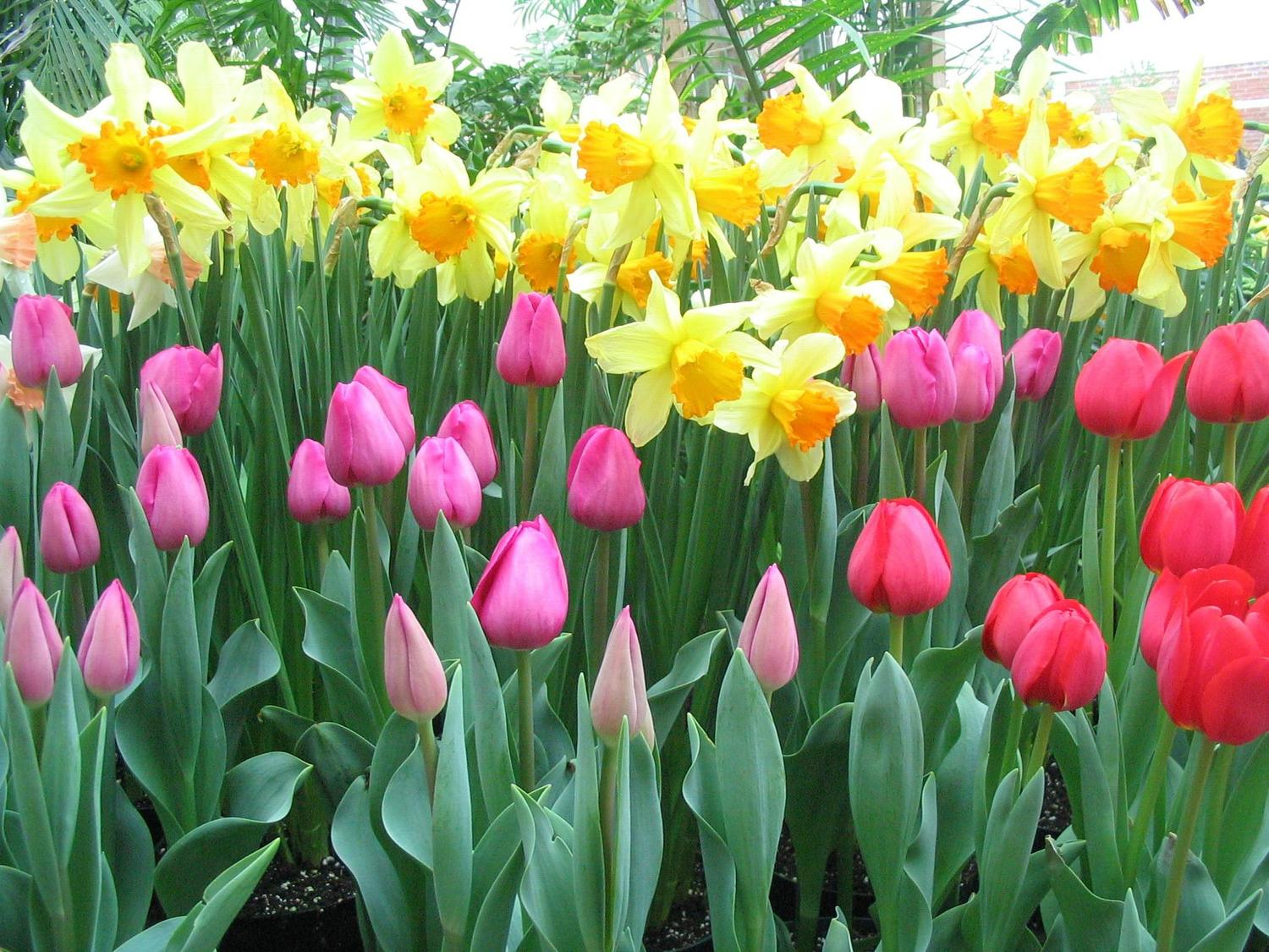 When how to plant daffodil bulbs - Forcing Bulbs