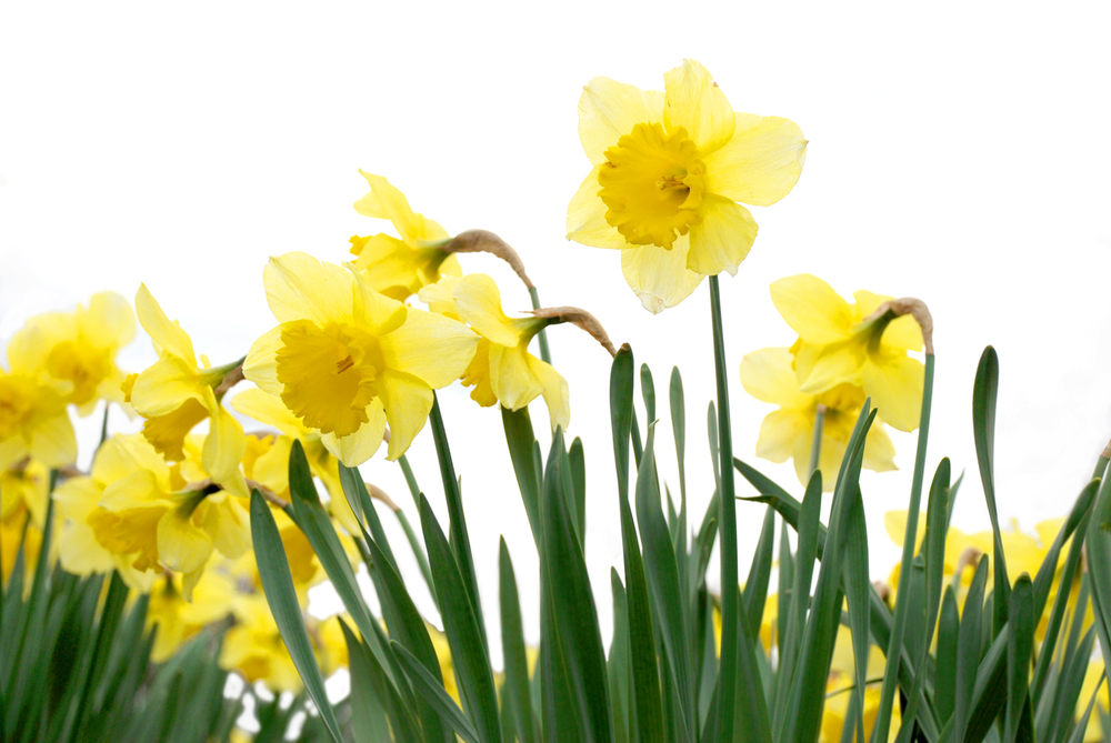 March - Daffodil