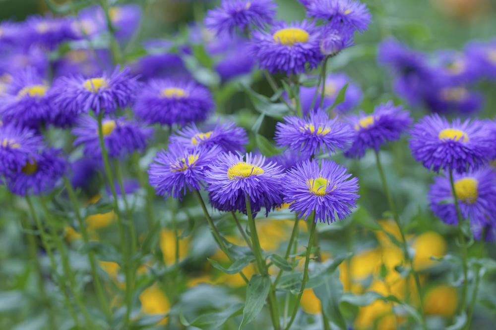 Flower Aster September 43280682_Full.jpg