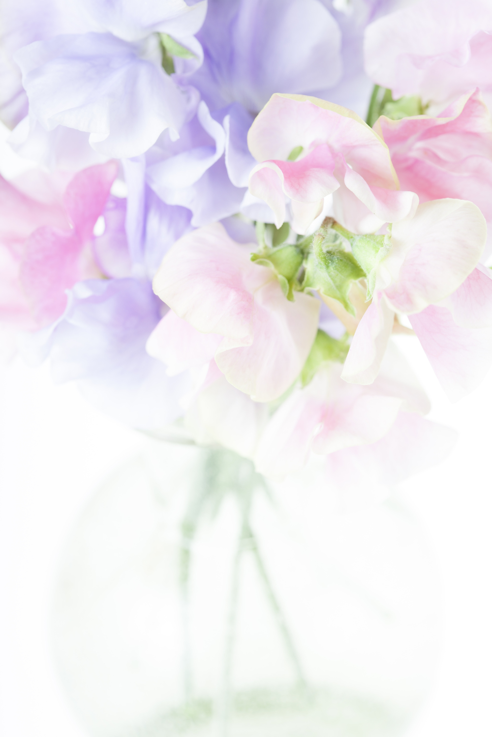 Flower Sweet Pea April 21817694_Double.jpg