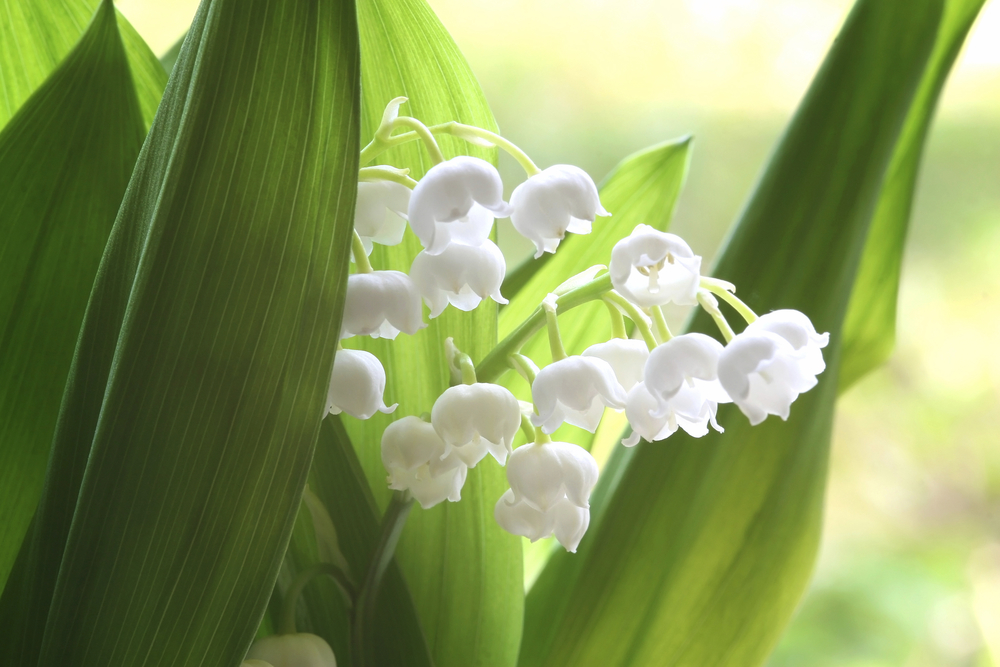 Flower Lily of the Valley May 6103268_Large.jpg