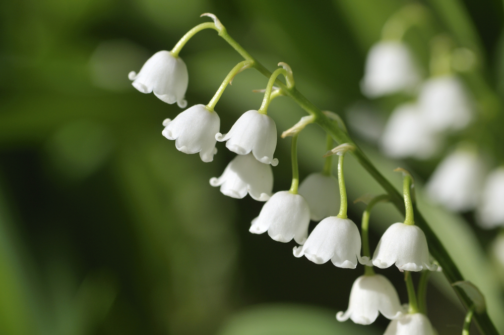 Flower Lily of the Valley May 7533176_Large.jpg