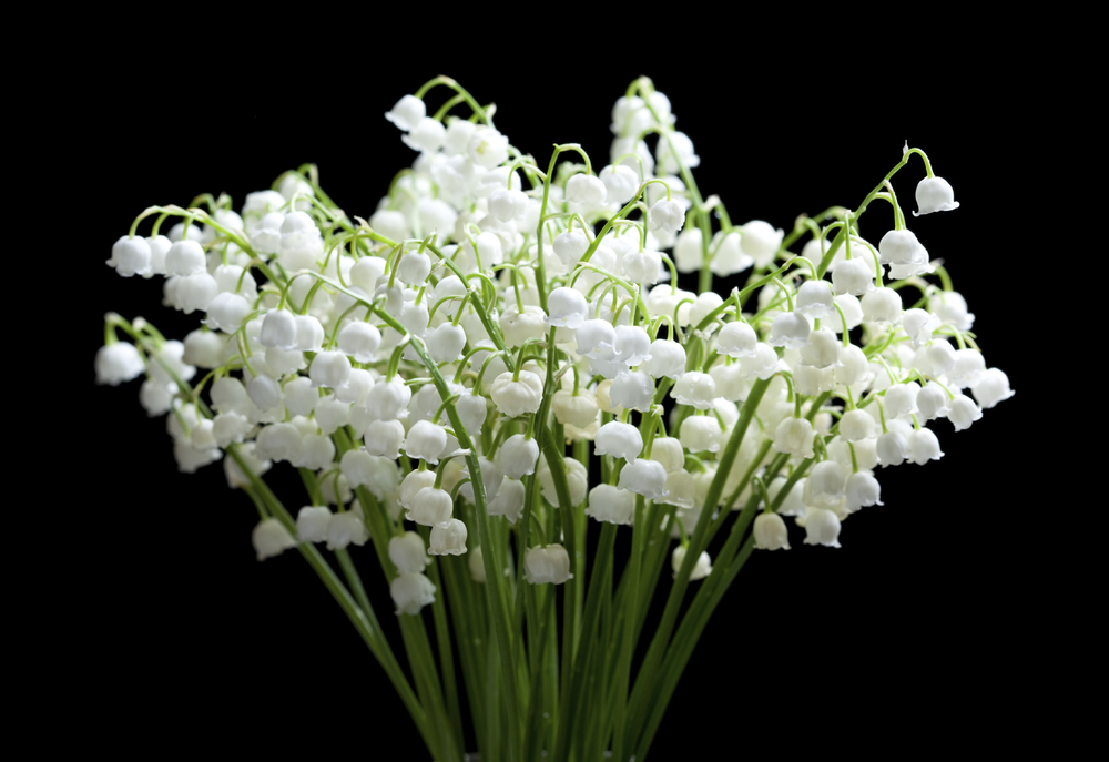 Flower Lily of the Valley May 10105776_Large.jpg