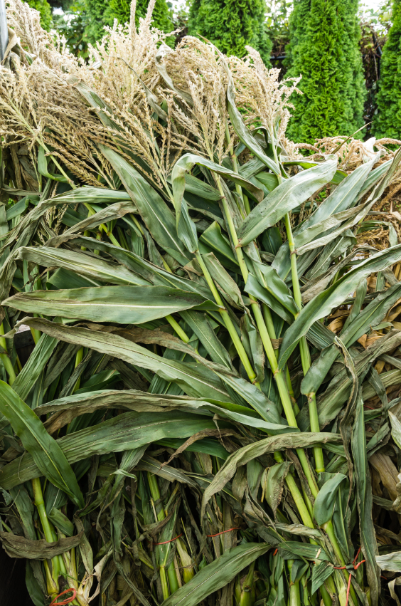 Fall Corn Stalks 59131404_Small.jpg