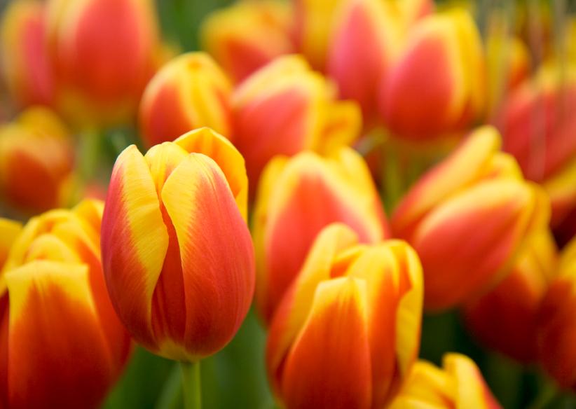 Tulips Pic HBTSOTR.jpg