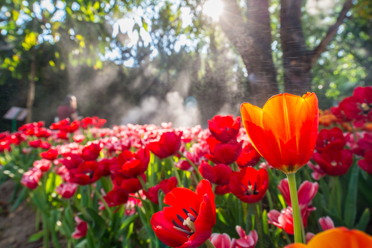 The-tulip-flowers-field-in-the-garden-with-morning-sunlight.-610660422_726x484.jpeg