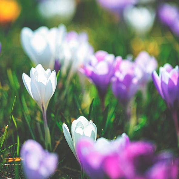 Crocus-flowers-in-spring-517310124_594x594.jpeg