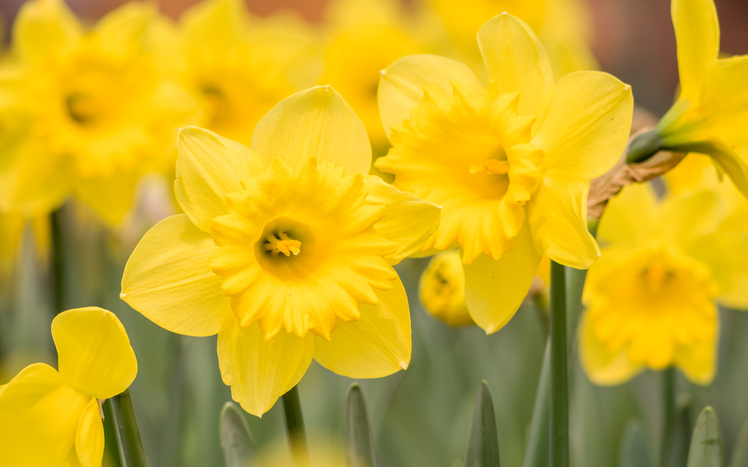 Spring-flowers-series,-yellow-daffodils-in-the-field-480749145_749x468.jpeg