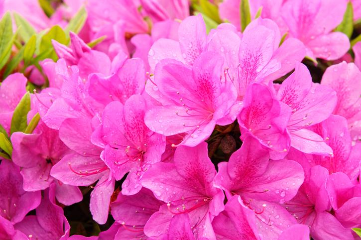 Blooming-dream-azalea-flowers-613899706_728x484.jpeg