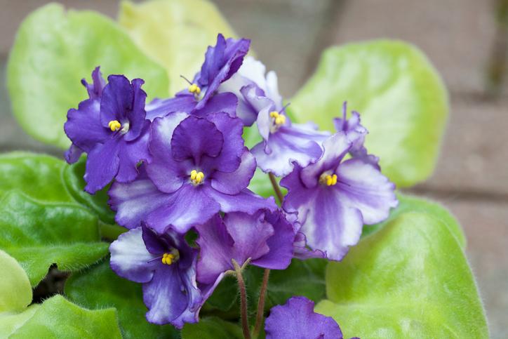African-Violet-Blooms-168249853_725x483.jpeg