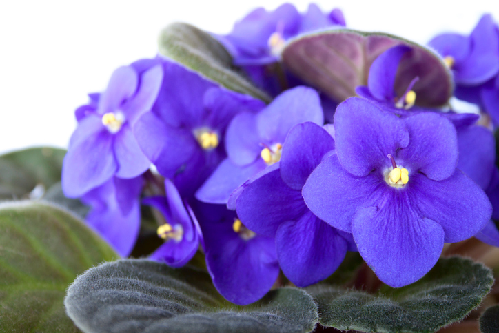 Floriferous-violet-on-the-white-background-461808545_725x483.jpeg