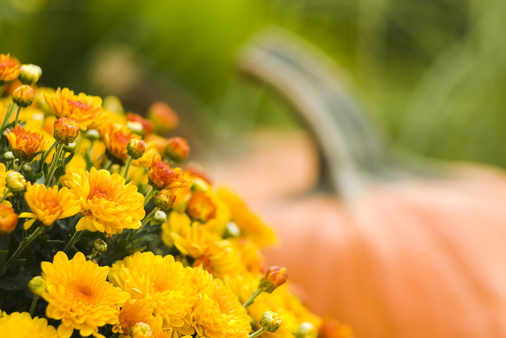 Chrysanthemums with pumpkins