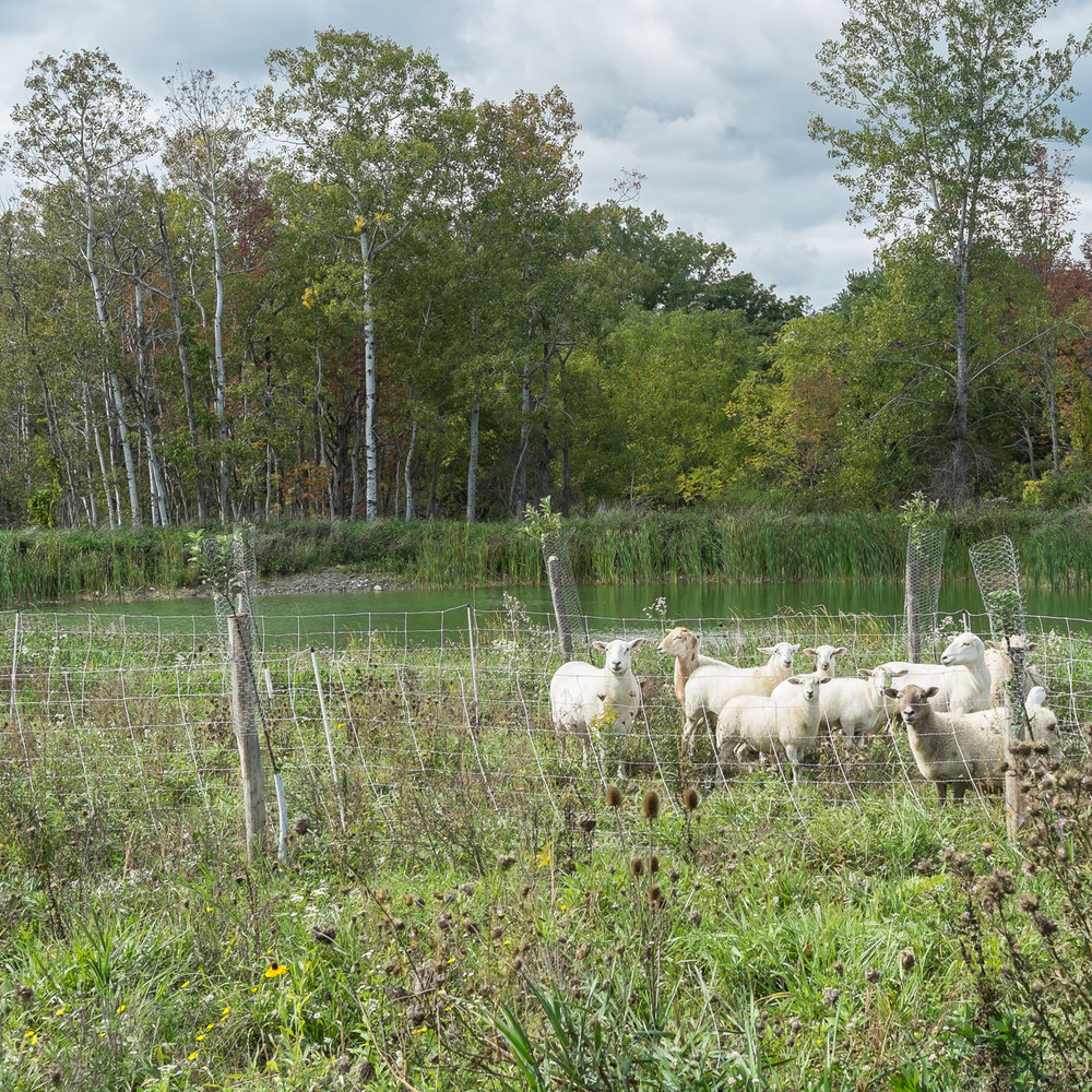 Sheep at Redbyrd Orchard