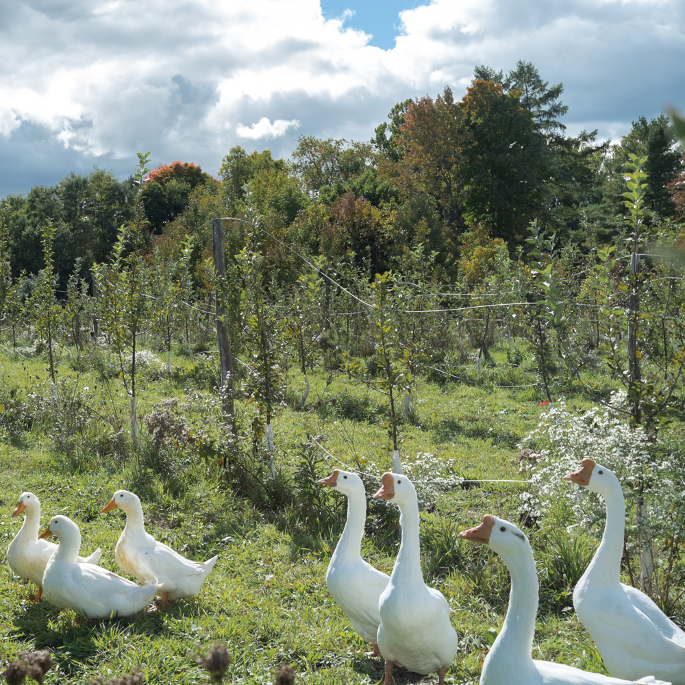 White geese at Redbyrd Orchard hanging among the young apple trees