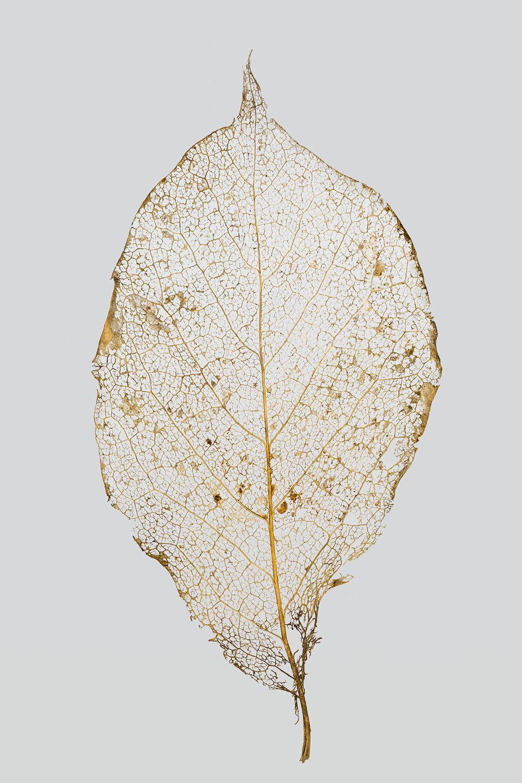 Noble Leaf