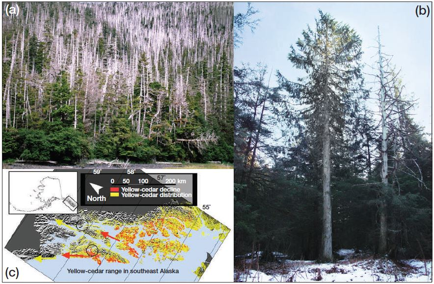 "Yellow cedar mortality and signs of expansion.  (a):  Mortality due to ""yellow cedar decline,"" near Sitka, AK.  (b)  Signs of expansion:  A healthy cedar north of its main range edge near Juneau, Alaska.  This tree is ~120 years old.  Inset map shows the regional distribution of cedar as well as decline locations, expansion directions, and locations of photos.   Photos from USFS and Brian Buma.  Reprinted from Krapek and Buma 2015, in Frontiers in Ecology and Environment."