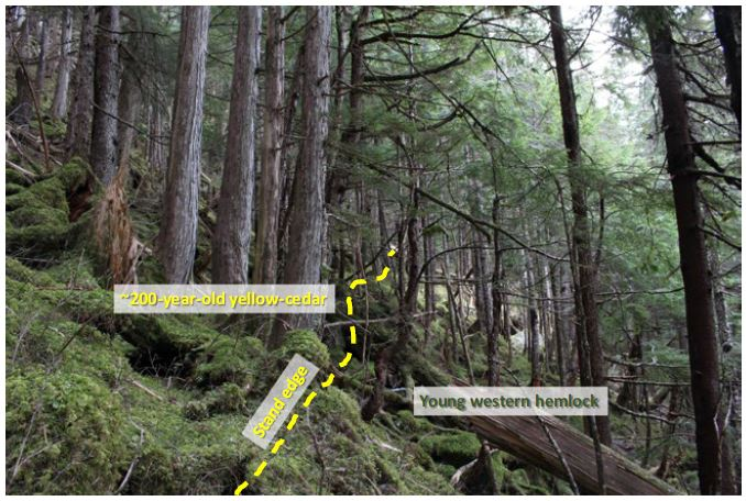 Photograph of a typical yellow-cedar stand boundary in the study area. Approximately 200-year-old yellow-cedar (Callitropsis nootkatensis) are located abruptly at the stand edge, with regeneration of other tree species (e.g., western hemlock [Tsuga heterophylla]) outside the boundary, indicating that stands have been in a period of relative stasis for the past many decades to centuries. No obvious yellow-cedar mortality is observed inside the stand boundary.