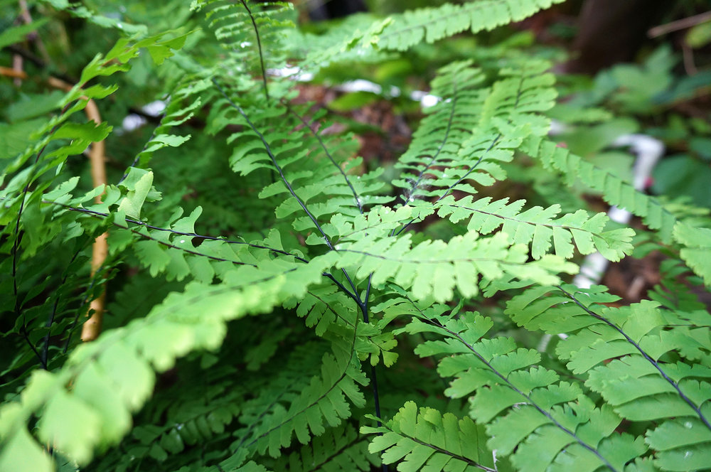 Q7 maidenhair fern 2 sample.jpg