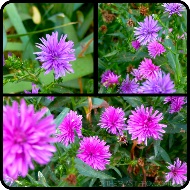|Aster sp.|