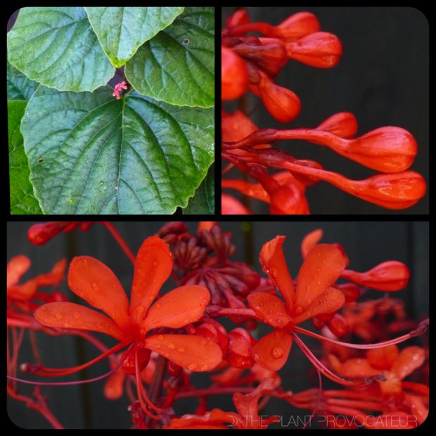 |Clerodendrum speciosissimum|