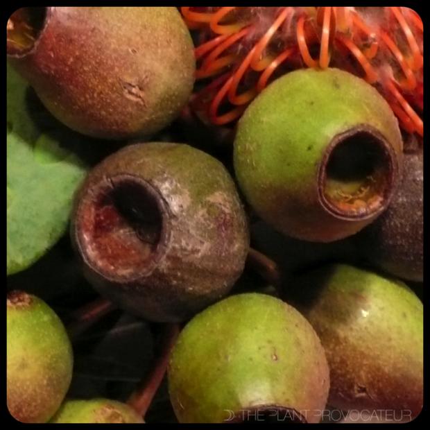 |Corymbia Gum Nut|