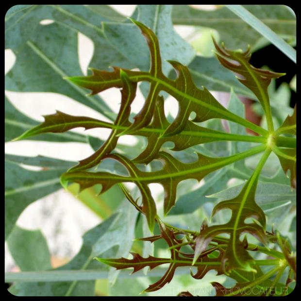 |Cussonia paniculata leaf|