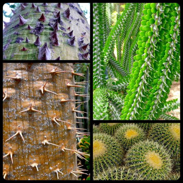 |(Top L plate/clockwise L to R) Chorisia speciosa | Allaudia procera | Pachypodium lamerei | Echinocactus grusonii|