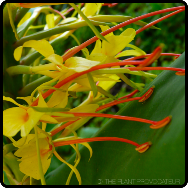 |Hedychium gardnerianum stamens|