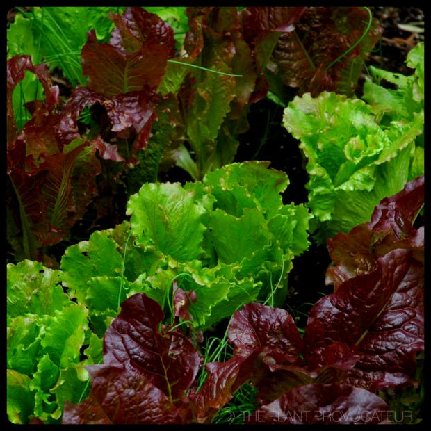 |Lettuce Bed|