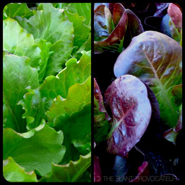 |Lettuce|
