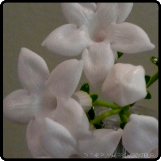 |Stephanotis Bloom|