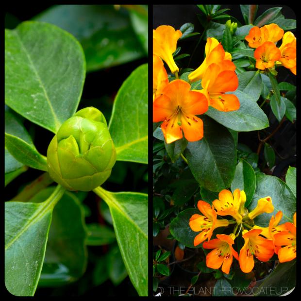 |Vireya 'Cristo Rey' Bud + Bloom|
