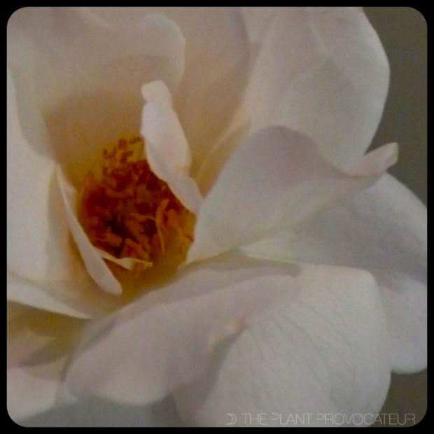 |White Rose|
