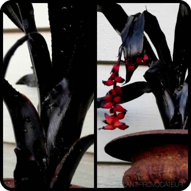 |Aechmea 'Prieto' Foliage + Form|
