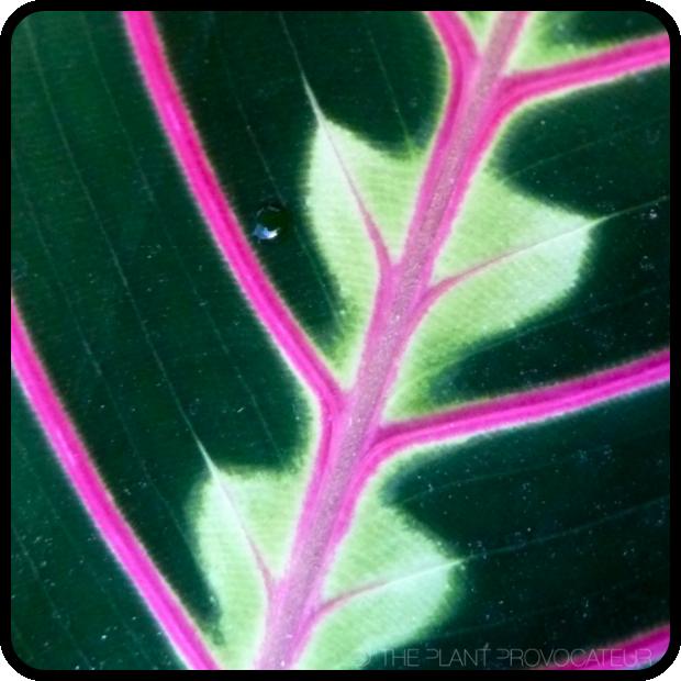|Maranta leuconeura detail|