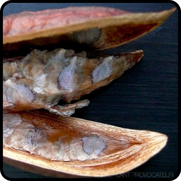 |Pandorea Pod + Seeds|